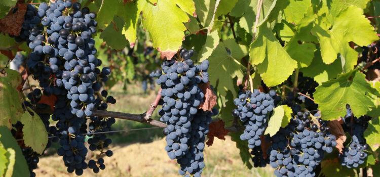 Vendemmia uve Pinot Nero e Chardonnay