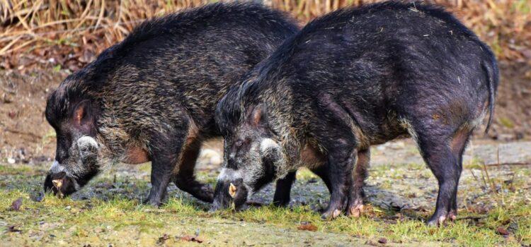 Fauna selvatica: cinghiali del Piemonte